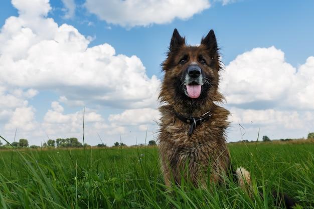 Der hund sitzt im grünen gras gegen einen blauen himmel mit wolken. Premium Fotos
