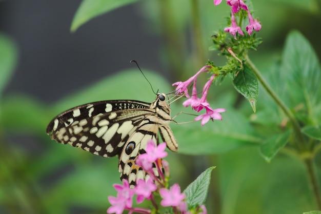 Der kalk-schmetterling saugt nektar, blütenstaub in der natur. Premium Fotos