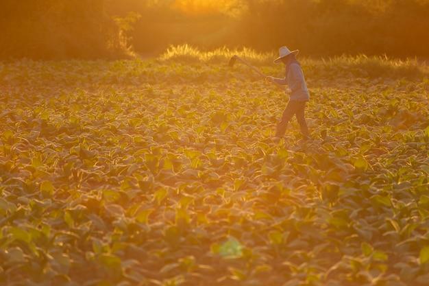 Der kubanische tabaklandwirt, der den boden auf einem feld bearbeitet, das durch grünen tabak umgeben wird, verlässt. Premium Fotos