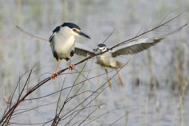 Der nachtreiher sitzt auf einem dünnen ast und dahinter fliegt ein weiterer vogel auf. lustige handlung des lebens der vögel Premium Fotos