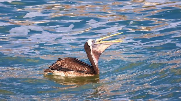 Der peruanische pelikan (pelecanus thagus) schwimmt auf dem pazifik in der nähe von lima, peru. südamerika Premium Fotos