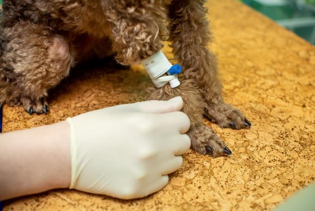 Der prozess des einführens eines tieres in die anästhesie Premium Fotos