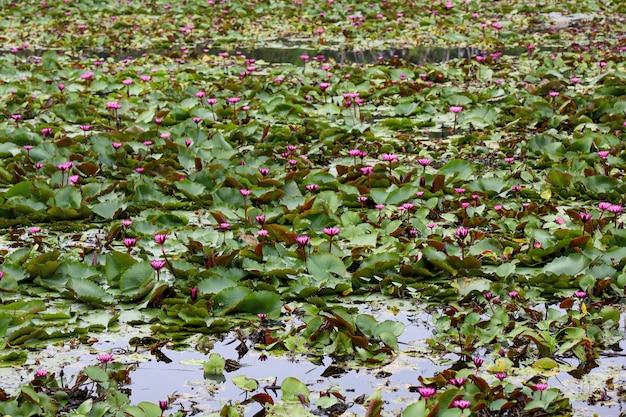 Der rote lotosblumengarten im fluss bei thailand Premium Fotos