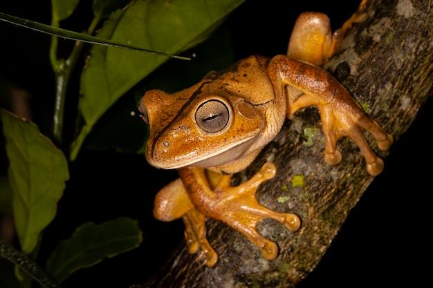 Der schmiede-laubfrosch, schmied-laubfrosch oder schmiedefrosch ist eine froschart aus der familie der hylidae Premium Fotos