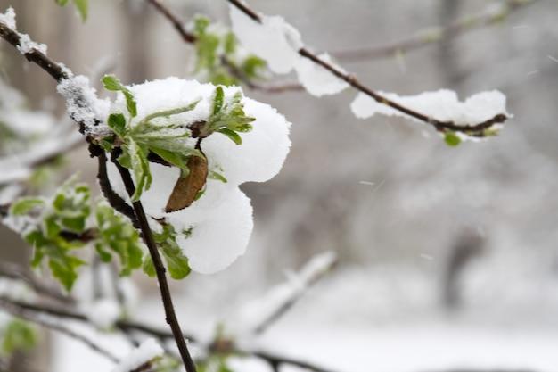 Der schnee ist im frühling stark gefallen. gebrochene bäume, äste, verdrahtung. sturm, wind, wirbelsturm. Premium Fotos