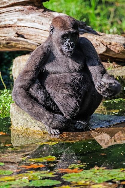 Der schwarze gorilla Premium Fotos