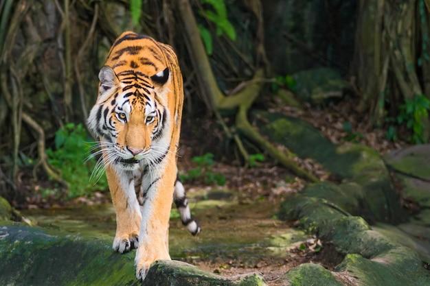 Der tiger konzentriert sich auf etwas ernstes. Premium Fotos