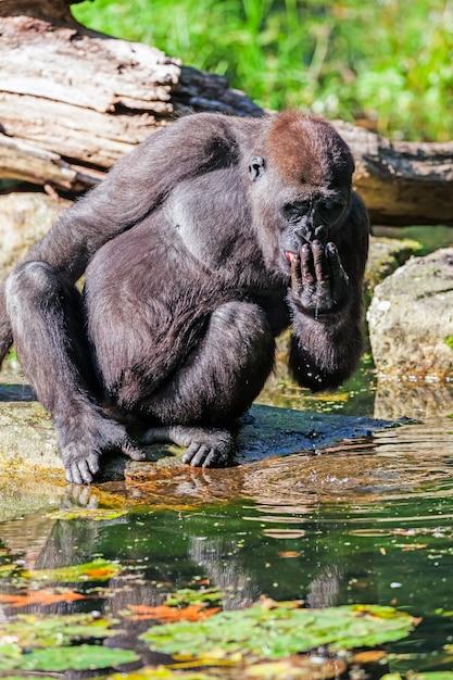 Der trinkende gorilla Premium Fotos