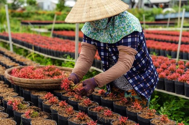 Der vietnamesische landwirt der nahaufnahme, der mit roten blumen arbeitet, arbeiten in sadec im garten Premium Fotos