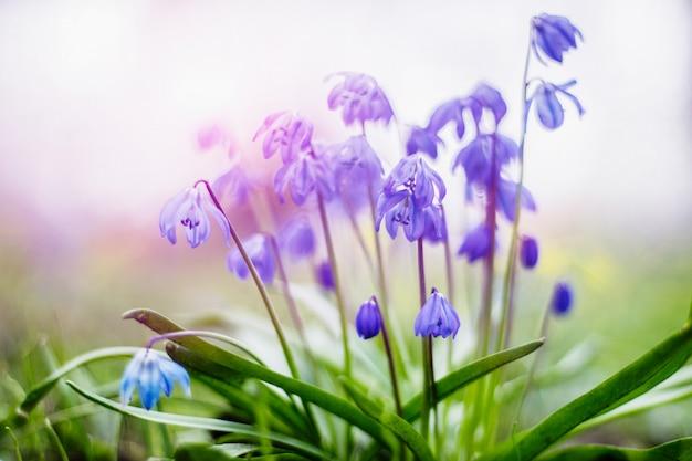 Der vorfrühling, der blaues scilla blüht, blüht im garten in den leichten pastellfarben Premium Fotos