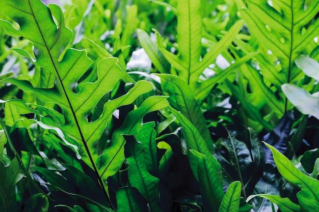 Der warzenfarn von hawaii oder maile-scented farngrün verlässt hintergrund Premium Fotos