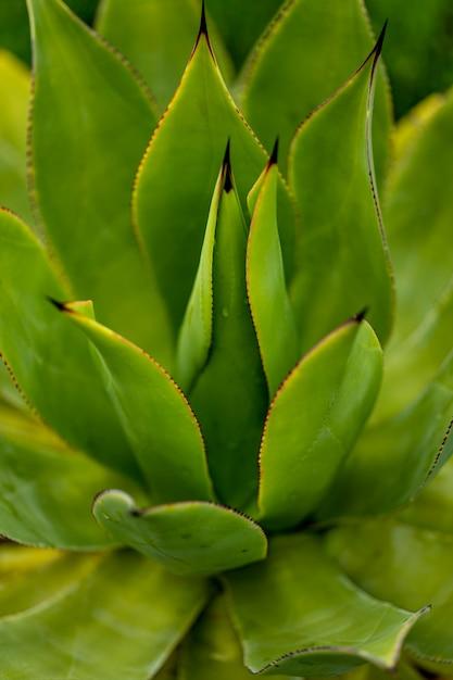 Detail der agavenpflanze Premium Fotos