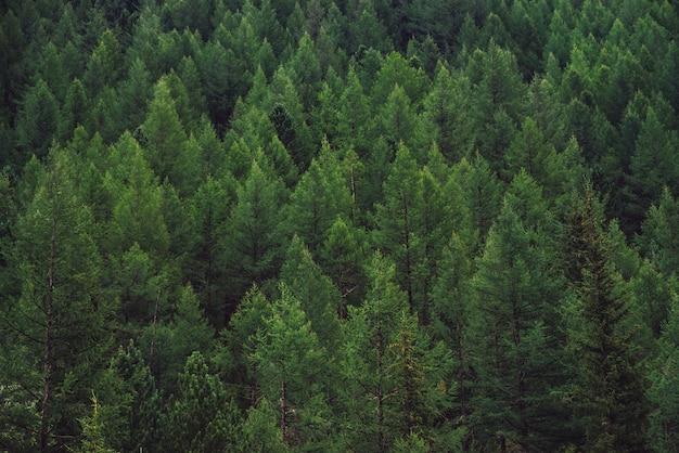 Detaillierte textur des nadelwaldes auf hügel nah oben. hintergrund der baumkronen am berghang. nadelbaumkegel am steilen hang mit kopierraum. Premium Fotos