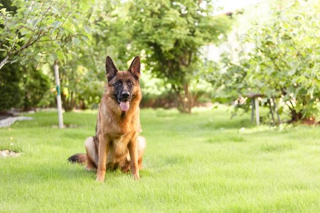 Deutscher schäferhund sitzt auf dem gras im garten. Premium Fotos