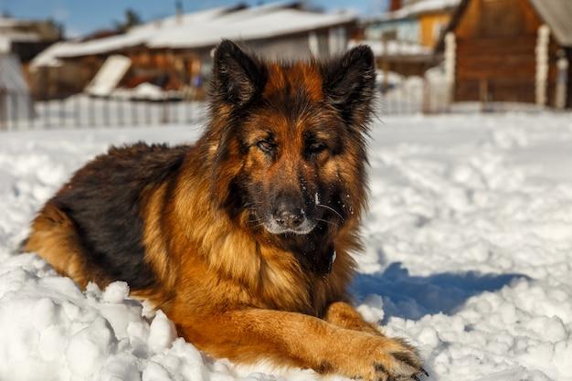Deutscher schäferhund Premium Fotos