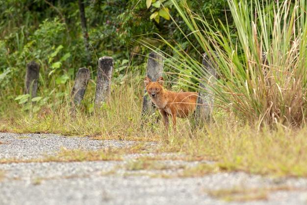 Dhole oder asiatische wilde hunde, die gehen, um einen hirschkadaver zu essen Premium Fotos