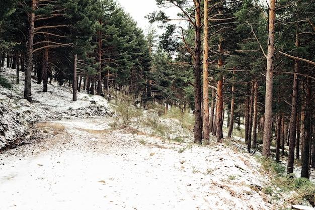 Dichter wald mit hohen bäumen im winter Kostenlose Fotos