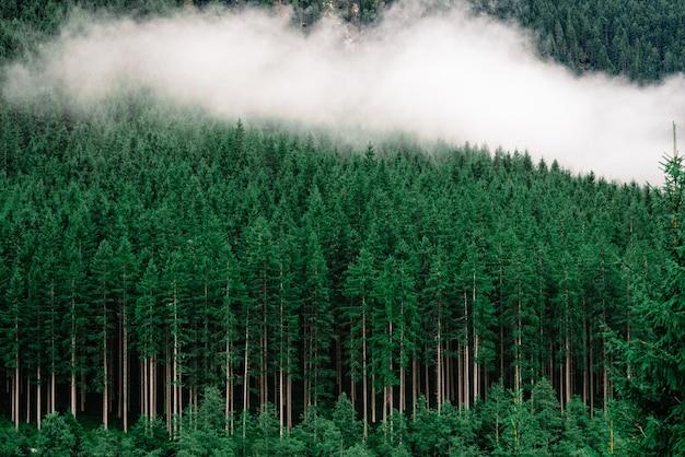 Dichter wald mit hohen kiefern und nebel darauf Kostenlose Fotos