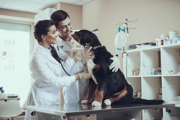 Die ärzte kümmern sich um den berner hund untersuchen sie den herzschlag Premium Fotos
