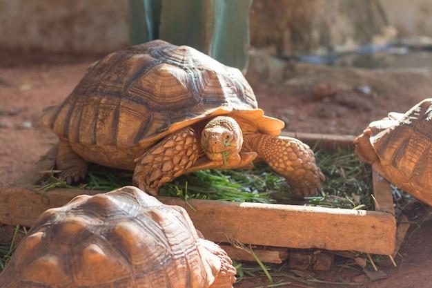Die afrikanische spornschildkröte (geochelone sulcata) ist eine der größten schildkrötenarten der welt. Premium Fotos