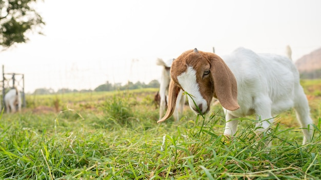 Die babyziegen auf der farm fressen gras, um zu milchziegen zu wachsen. Premium Fotos