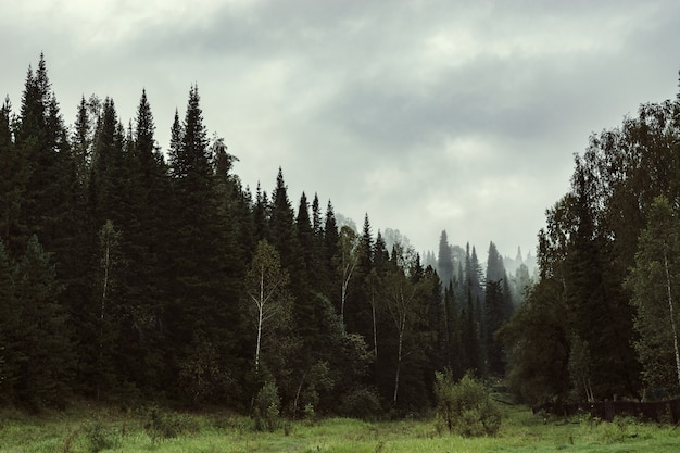 Die düstere atmosphäre des abends im dunklen wald. hohe tannen und kiefern im nebel. bedecktes wetter. Premium Fotos