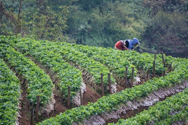 Die frauen, die sprühschädlingsbekämpfungsmittel am erdbeerbauernhof, königliche landwirtschaftliche station angkhan tun Premium Fotos