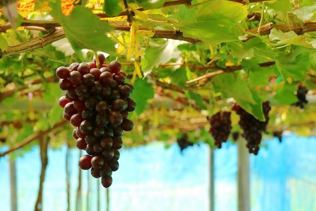 Die frischen trauben von reben im weinberg. selektiver fokus obst- und landwirtschaftskonzept. Premium Fotos