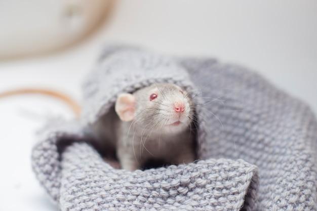 Die graue dekorative ratte cornysh mit roten augen sitzt in einem grauen strickpullover Premium Fotos