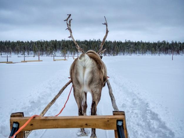 Die hintere ansicht eines rens, das auf schnee rodelt, bedeckte landschaft im wald Premium Fotos