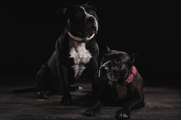 Die hunde im studio Premium Fotos