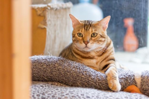 Die katze, die zu dir schaut Premium Fotos