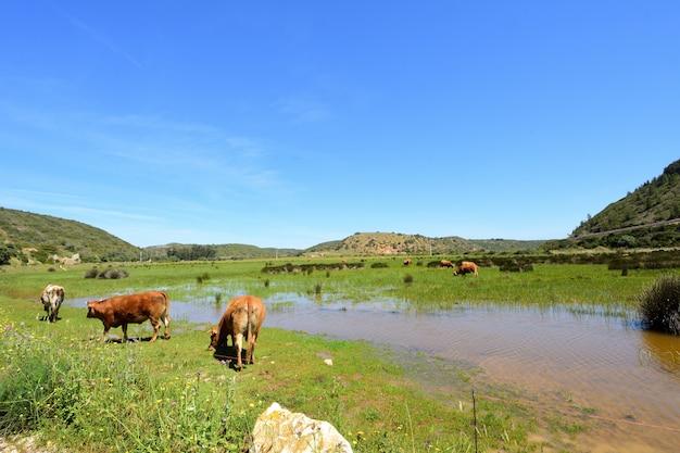 Die kühe, die auf dem strand von boca del rio, vila weiden lassen, tun bispo, algarve, portugal Premium Fotos