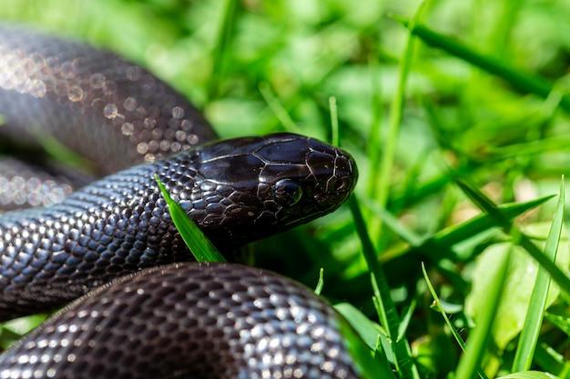 Die mexikanische schwarze königsschlange (lampropeltis getula nigrita) gehört zur größeren colubrid-schlangenfamilie und ist eine unterart der gemeinen königsschlange Premium Fotos