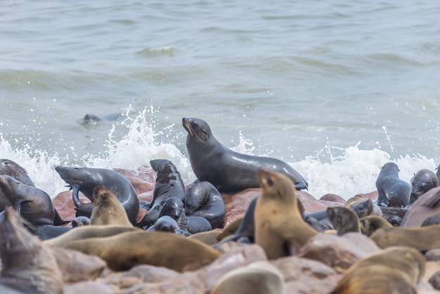 Die robbenkolonie bei cape cross, an der atlantikküste von namibia, afrika. blick auf die küste und den rauen wehenden ozean. Premium Fotos