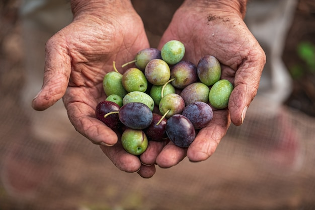 Die saisonale ernte von oliven in apulien, süditalien Premium Fotos