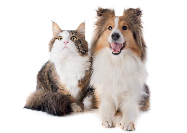 Die shetlandinseln-hund und maine-waschbärkatze Premium Fotos