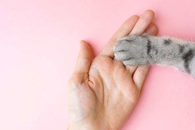 Die tatze und die menschliche hand der grauen gestreiften katze auf einem rosa. Premium Fotos