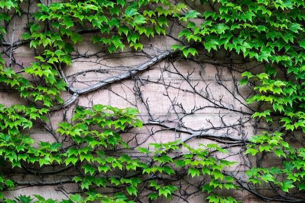 Die wand, auf der sich wilde trauben mit einem massiven stamm ausbreiten. Premium Fotos