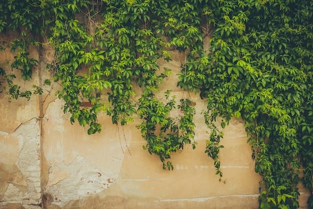 Die wand von grünen blättern bedeckt Premium Fotos