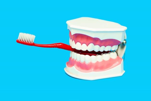 Die zahnbürste wird in den mund des medizinischen kiefermodells eingeführt. Premium Fotos