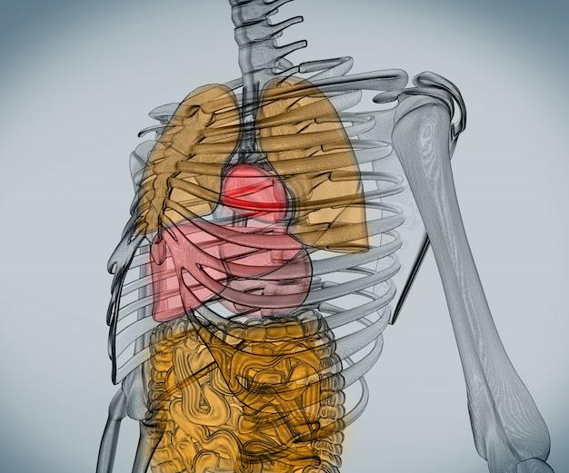 Digitales Skelett mit Organen | Download der Premium Fotos
