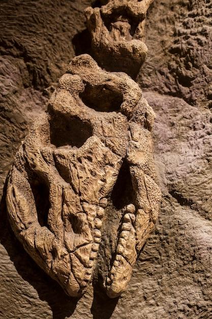Dinosaurier-fossil Premium Fotos