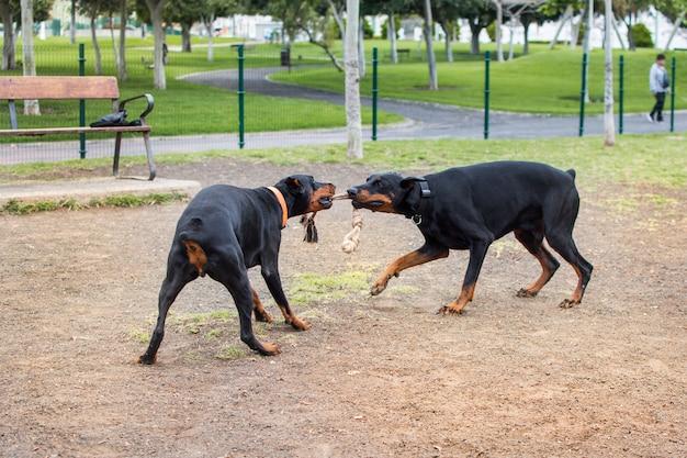 Dobermann mit zwei hunden, der im tierpark mit einem seil spielt, das beide mit ihren schnauzen beißen. Premium Fotos