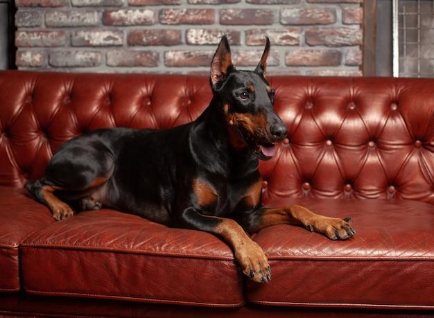 Dobermann pinscher. hund auf einem braunen hintergrund. hund liegt auf dem ledersofa. Premium Fotos