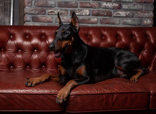 Dobermann pinscher. hund auf einem braunen hintergrund Premium Fotos