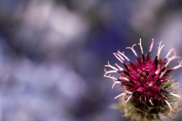 Dornige purpurrote blumennahaufnahme der klette. blühende heilpflanzeklette. exemplar Premium Fotos