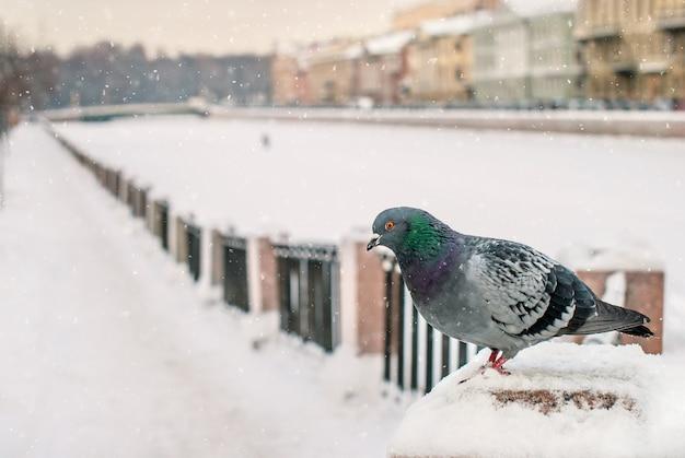 Dove sitzt im winter während eines schneefalls vor dem hintergrund der altstadt auf der brüstung des dammes. Premium Fotos