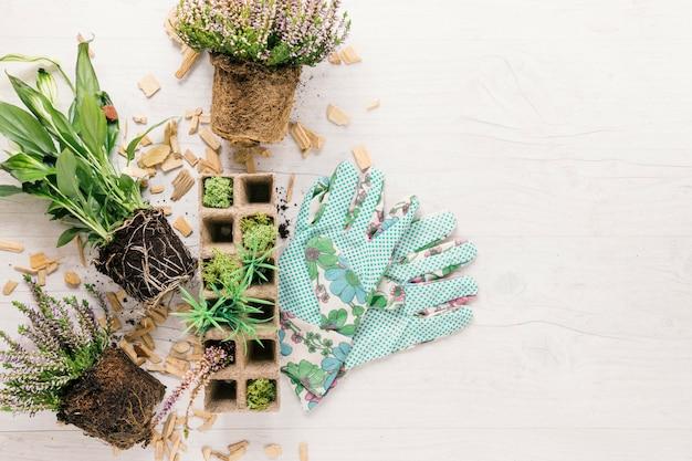 draufsicht auf den boden pflanzen und torfschale mit gartenhandschuh auf wei er holzoberfl che