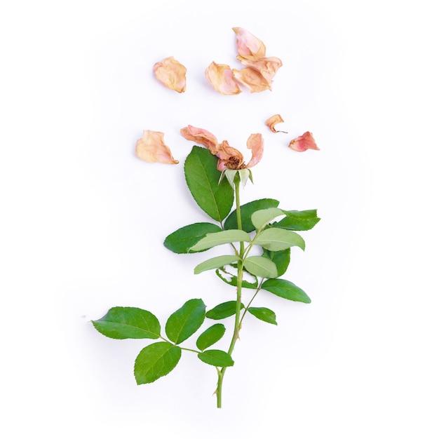 Draufsicht der getrockneten rosa rose auf weißem hintergrund. Premium Fotos